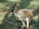 Korolitzky-053113-Kangaroo