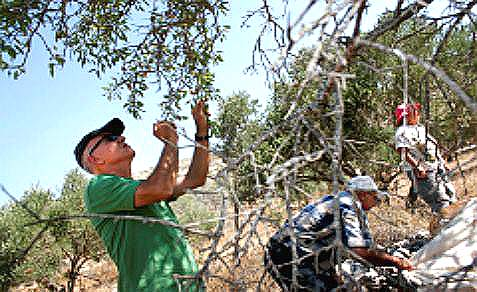 International activists and Jewish volunteers from Rabbis for Human Rights help Palestinian farmers.