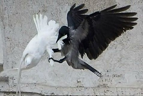 The Vatican's peace doves got a lot less further than the crow flies.