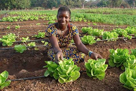 Growing lettuce in Senegal
