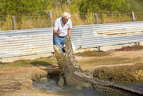 feeding crocodile