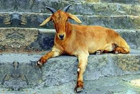 It's a goat's tale.