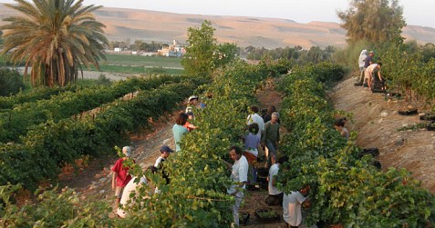 israel_picking_grapes
