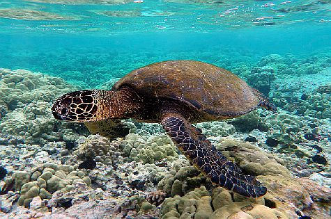 Green sea turtle swimming over coral reefs.