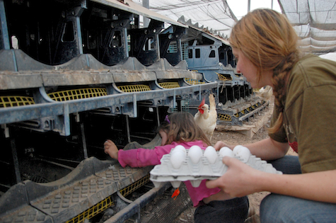 Moshav member works in a chicken coop. Photo for illustrative purposes only.