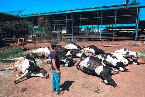 Cows in Be'er Tuvia, killed by a Hamas rocket.