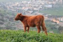 A Red Heifer (illustrative photo).