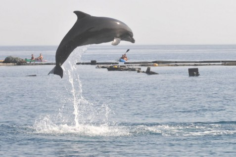 A dolphin in Eilat