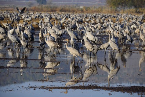 Cranes in the Hula Valley