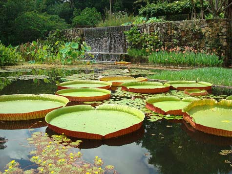 Victoria amazonica water lilies, garden of the Fazenda Vargem Grande, Clemente Gomes residence, Areias, designed by Roberto Burle Marx, 1979. © Burle Marx Landscape Studio, Rio de Janeiro. / The Jewish Museum