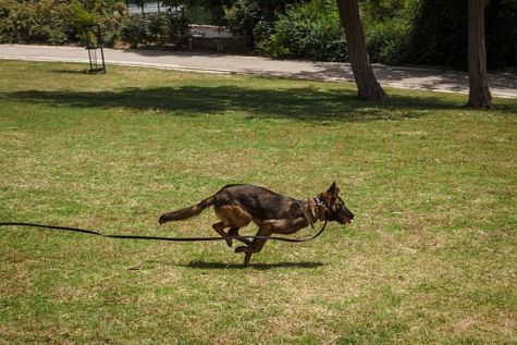 Sneakers, a defense and Search and Rescue dog, who is also a trained movie stunt dog.  Sneakers will be performing at Gush Etzion's First Dog Show.