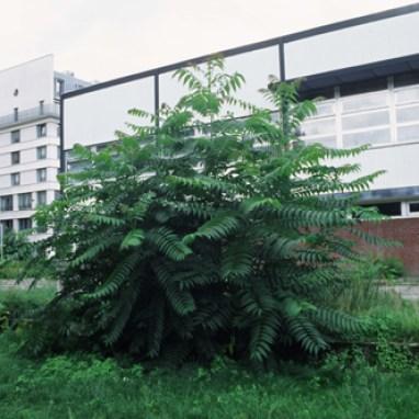 © Fritz/Frassl, Ailanthus altissima, 2012, Digitalprint