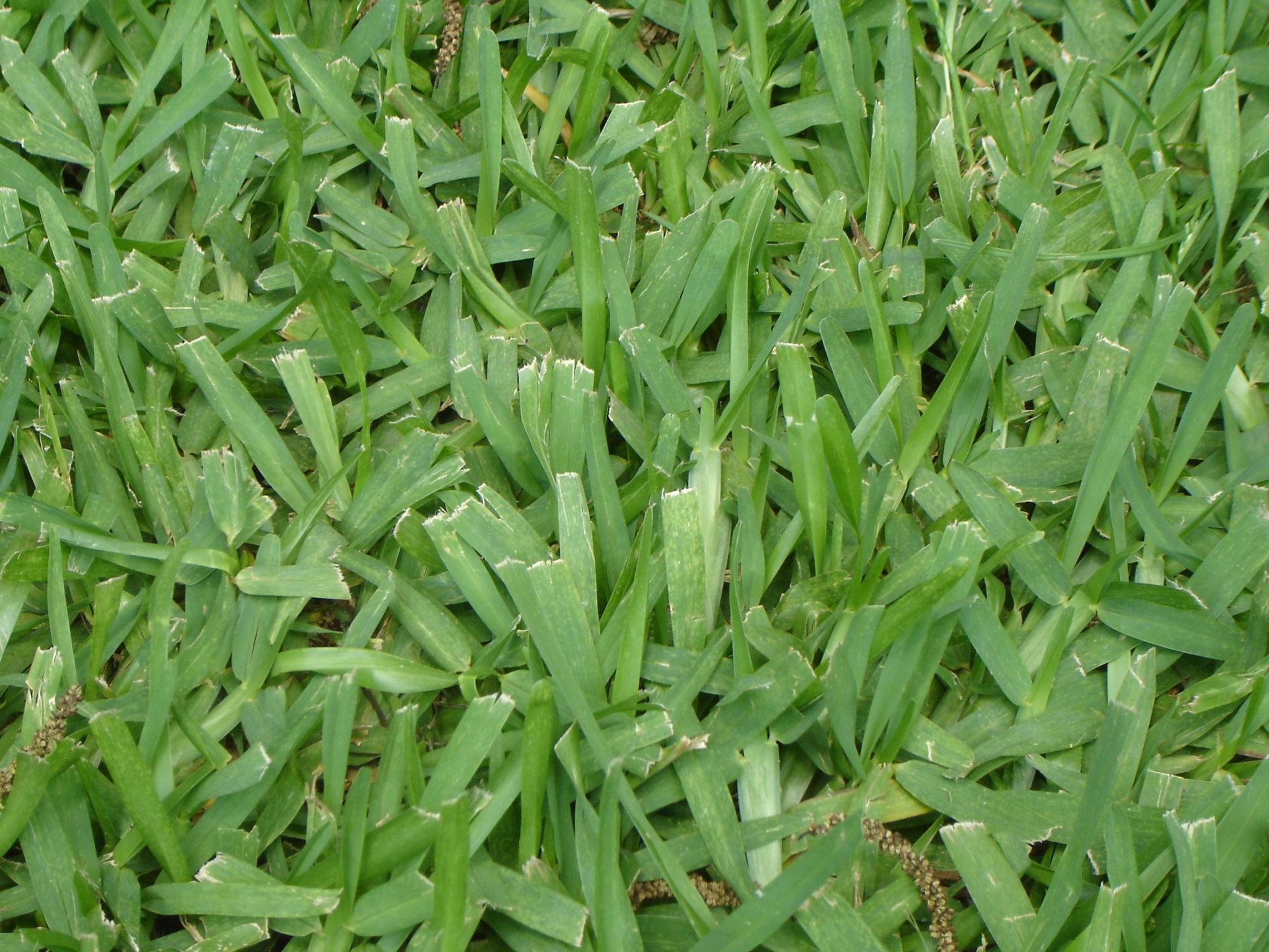 Fullsize Of Bahia Grass Seed