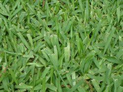 Small Of Bahia Grass Seed