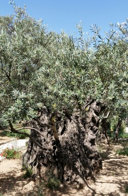 2000 Year Old Tree in the Garden of Gethsemane