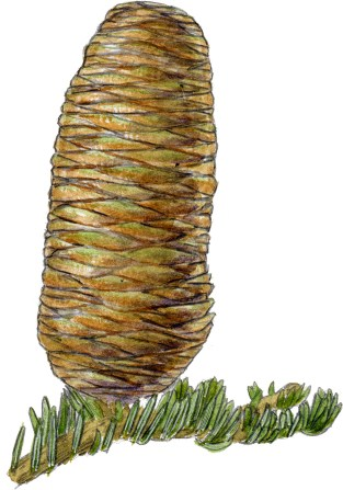 Abies concolor cone
