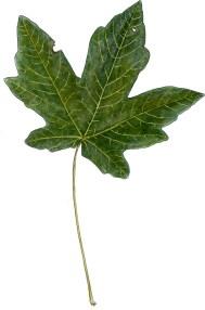 Acer macrophyllum lf