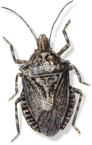 B Brochymena sulcata