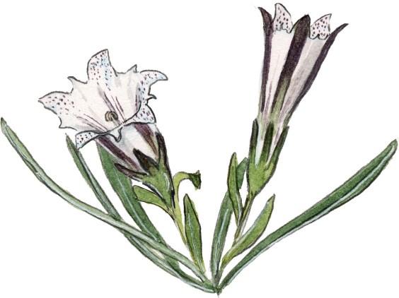 Gentiana newberryi 2