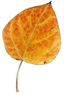 Populus tremuloides lf2