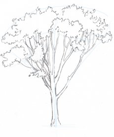"Draw the trunk from the top down, connecting branches together and widening as you go. Keep looking back at the real tree instead of going with your idea of how branches should look. The models we carry in our heads of what tree branches ""should"" do are too simple."