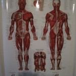 muscular-system-poster_thumb.jpg