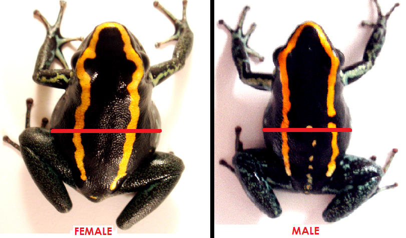 phyllobates vittatus poison dart frogs for sale