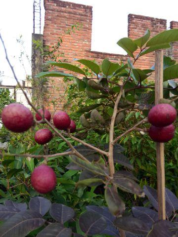 Kelengkeng merah berbuah
