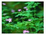 tanaman pageruyung