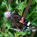 butterfly+thistle