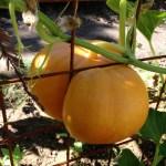 fr+pumpkin
