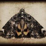 moth+copy