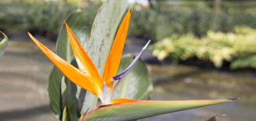 Medium Of Orange Bird Of Paradise