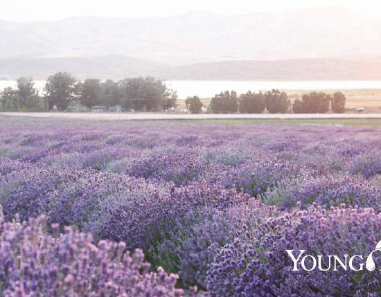 How to get started with essential oils Lavender Field