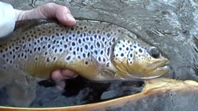 Fly fishing river jwflyfishing for Farmington river fishing report