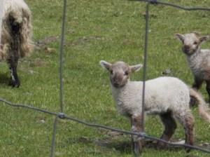 Lambs!