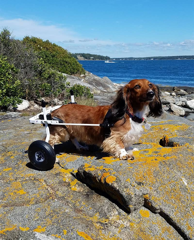 Beautiful Dachshund Wheelchair Evaluate My Pet A Wheelchair Or Hand Held Sling By Carts Full Support Dog Wheelchair Diy Diy Dog Wheelchair Youtube bark post Dog Wheelchair Diy