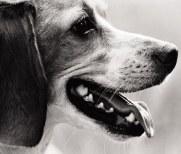 beagleheadlrd
