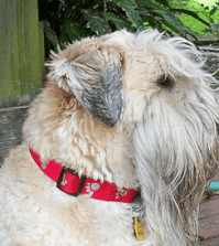 low-shedding-dog-breeds