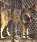 red wolf behind bars