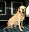 Acupuncture in dogs Labradors
