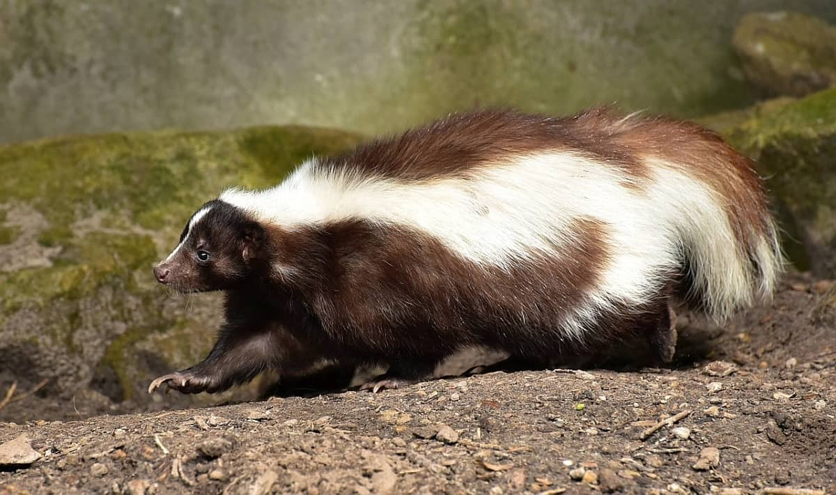 Staggering Skunks How To Get Rid Skunks Fast How To Get Rid How To Get Rid Your Skunk How Do I Get Rid Skunk Smell On A Tips Tricks houzz-03 How To Get Rid Of Skunks