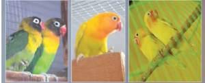 burunglove