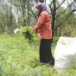 Tercemar Material Raung, Peternak Sulit Cari Rumput