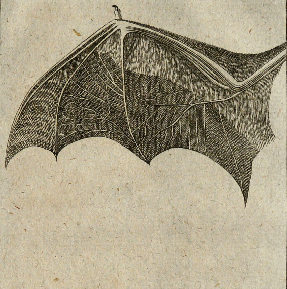 1788 Antique BAT print. antiqueprintsonly etsy