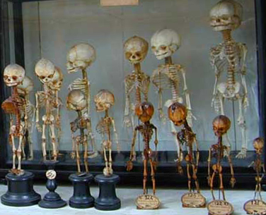 Scheletrini-in-connessione-anatomica, Preparati osteologici Museo di Storia Naturale - Università di Firenze