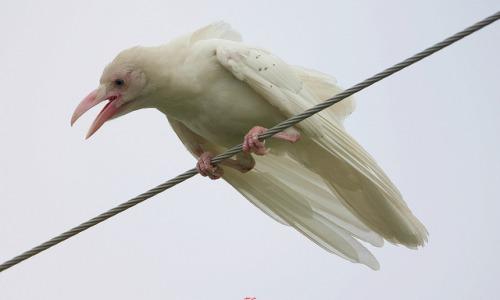 corvo albino via hoaxvault