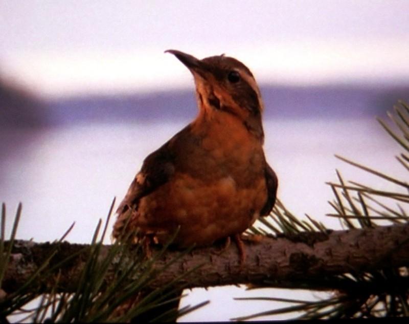 Twin_Peaks_Bird
