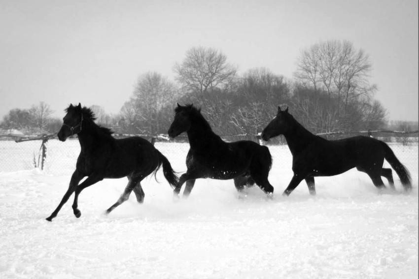 Cavalli che nella neve