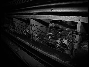 batteria-per-galline-allevamento-di-massa-allevamento-di-polli-beccare-2